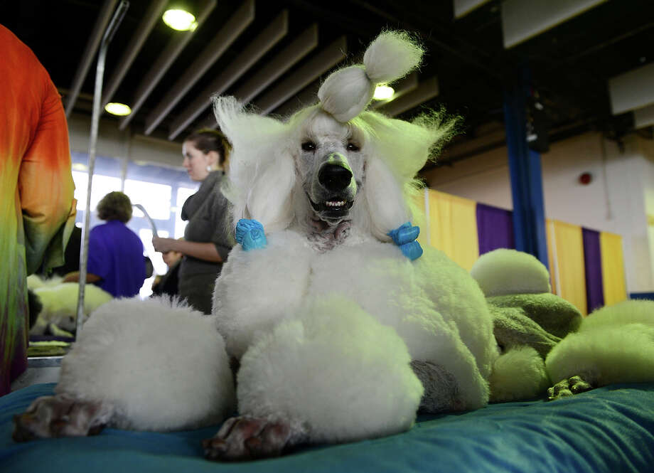 Owen, a standard Poodle, is groomed before judging at the Westminster Kennel Club Dog Show February 11, 2013 in New York. Photo: STAN HONDA, AFP/Getty Images / 2013 AFP