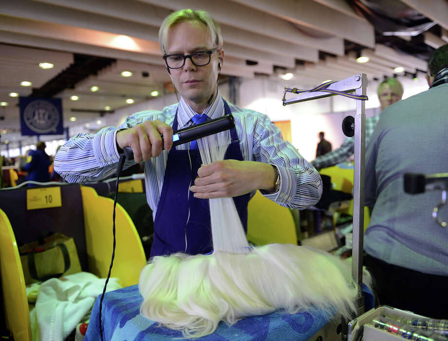 Timothy Lehman grooms Snapshot, a Maltese, before judging at the Westminster Kennel Club Dog Show February 11, 2013 in New York. Photo: STAN HONDA, AFP/Getty Images / 2013 AFP