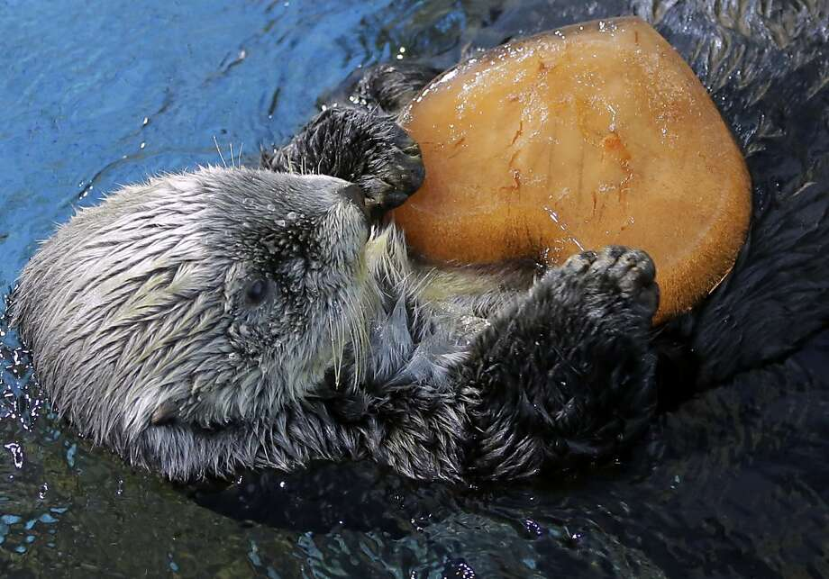 Time's running short: Valentine's Day is only days away, and you still haven't got anything for your significant otter?! Well, consider the FTD Frozen Clam Juice Heart®. Yutan at the Hakkeijima Sea Paradise aquarium-amusement park in Yokohama, Japan, loves his. Photo: Itsuo Inouye, Associated Press