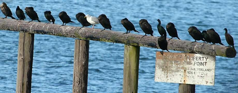 Well, this is awkward: A lone seagull perches among a flock of cormorants off shore near Fort Ward State Park on Bainbridge Island, Wash. Photo: Meegan M. Reid, Associated Press