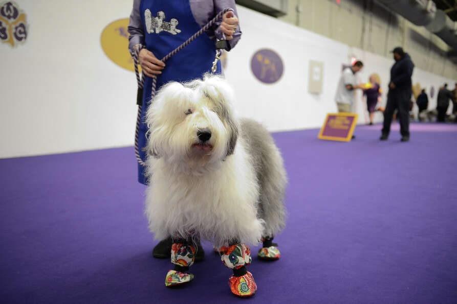 The 137th Annual Westminster Kennel Club Dog Show at Pier 92 & 94 in New York City on Monday, Februa