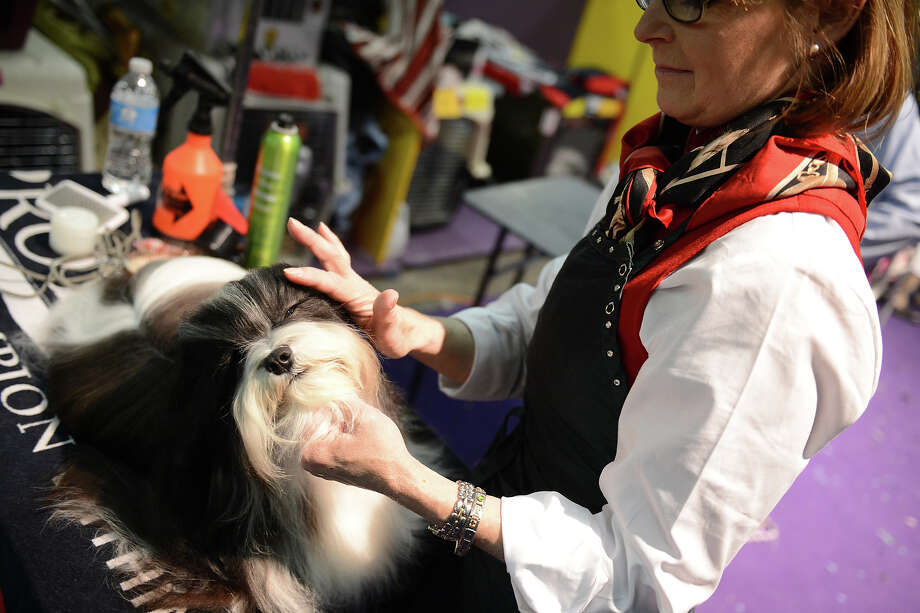 The 137th Annual Westminster Kennel Club Dog Show at Pier 92 & 94 in New York City on Monday, February 11, 2013. Photo: USA Network, NBCU Photo Bank Via Getty Images / 2013 USA Network Media, LLC