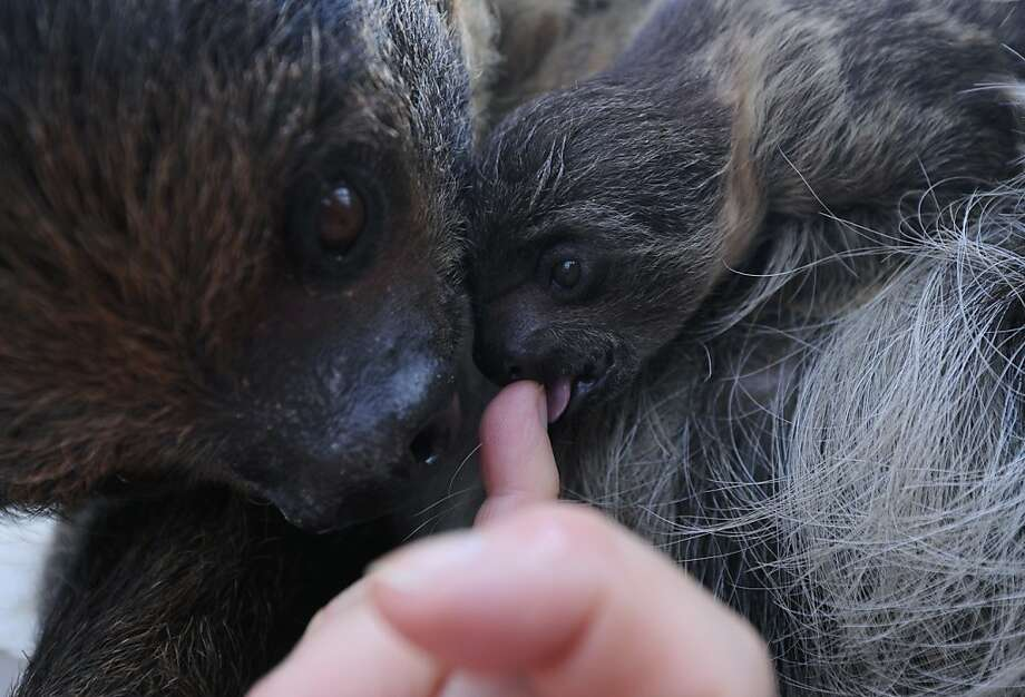 I'm beginning to think there is no milk in this thing! Banya the sloth's 6-week-old baby tests a finger for flavor at the Budapest Zoo. Photo: Attila Kisbenedek, AFP/Getty Images