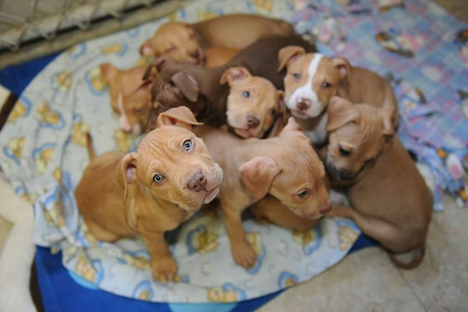 We may need the Jaws of Life:The Adopt-A-Dog shelter in Armonk, N.Y., is reporting a nine-puppy pileup without injuries. (Supposedly one is under the pile.) Photo: Helen Neafsey, Greenwich Time
