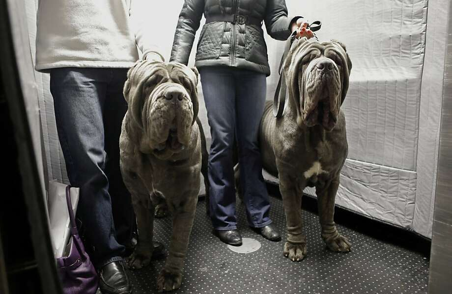 For he's a jowly good fellow: Neapolitan Bull Mastiffs Paparazzi and Ruben ride the lift at the Hotel Pennsylvania, where they'll be staying during the  Westminster Kennel Club dog show competition in New York. Photo: Kathy Willens, Associated Press