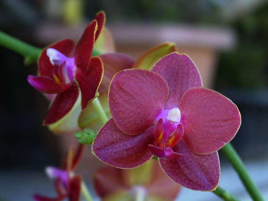Red phalaenopsis Photo: Angelic Nguyen