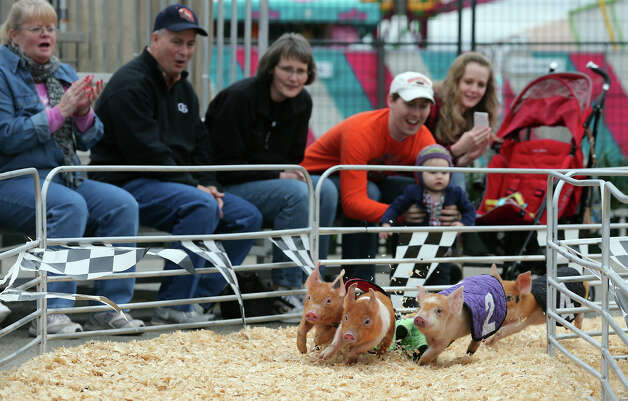 Pot-bellied pigs race during the Swifty Swine Sprints at the San Antonio Stock Show and Rodeo, Monday, Feb. 11, 2013. The sprints featured pigs named after celebrities such as Kevin Bacon, Sowi Mandel and Brad Pig. Photo: Jerry Lara, San Antonio Express-News / © 2013 San Antonio Express-News