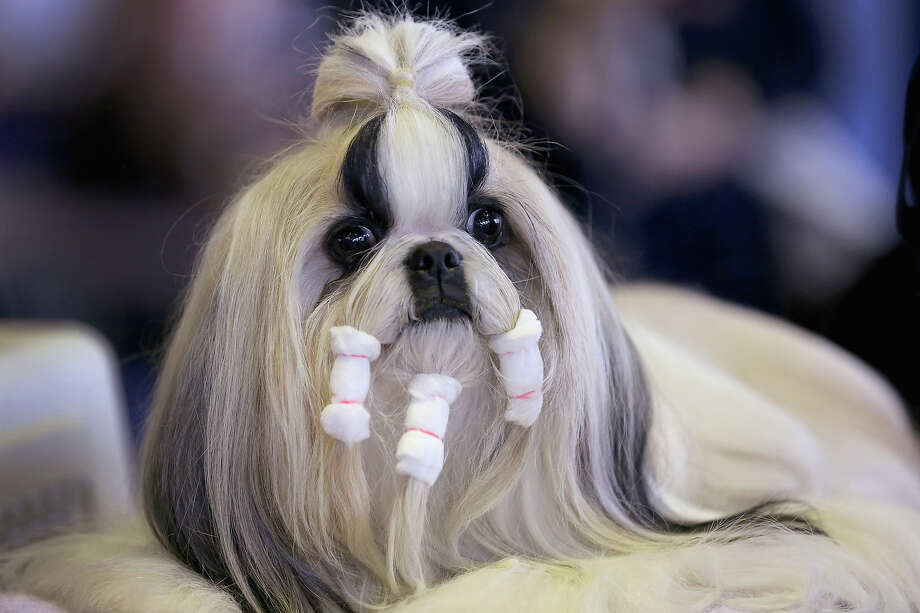 A Shih Tzu prepares to compete in the 137th Westminster Kennel Club Dog Show on February 11, 2013 in New York City. A total of 2,721 dogs from 187 breeds and varieties are to compete in the event, hailed by organizers as the second oldest sporting competition in America, after the Kentucky Derby. The Best in Show dog is to be selected at Madison Square Garden Tuesday night. Photo: John Moore, Getty Images / 2013 Getty Images