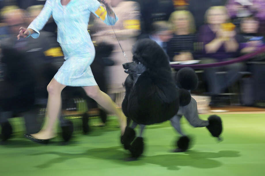 A standard poodle competes in the 137th Westminster Kennel Club Dog Show on February 11, 2013 in New York City. A total of 2,721 dogs from 187 breeds and varieties are to compete in the event, hailed by organizers as the second oldest sporting competition in America, after the Kentucky Derby. The Best in Show dog is to be selected at Madison Square Garden Tuesday night. Photo: John Moore, Getty Images / 2013 Getty Images