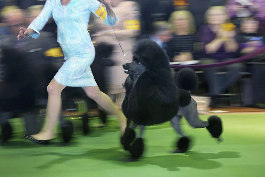 A standard poodle competes in the 137th Westminster Kennel Club Dog Show on February 11, 2013 in New