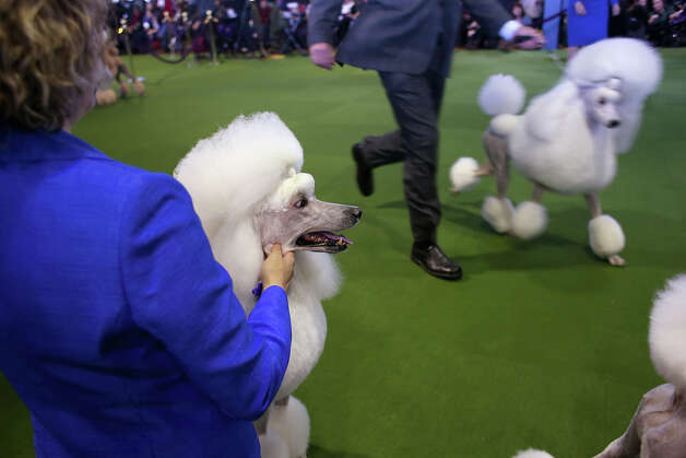 Standard poodles compete in the 137th Westminster Kennel Club Dog Show on February 11, 2013 in New York City. A total of 2,721 dogs from 187 breeds and varieties are to compete in the event, hailed by organizers as the second oldest sporting competition in America, after the Kentucky Derby. The Best in Show dog is to be selected at Madison Square Garden Tuesday night. Photo: John Moore, Getty Images / 2013 Getty Images
