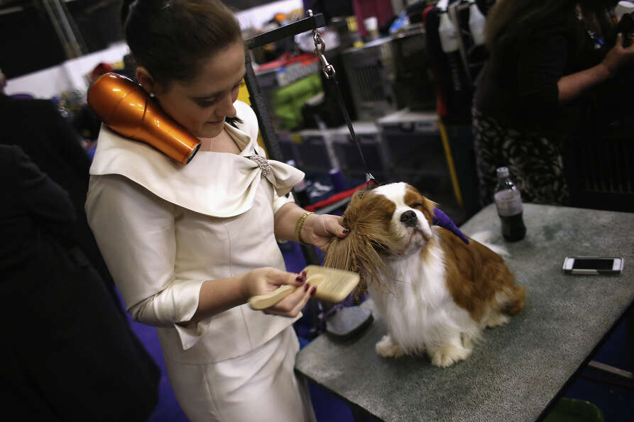Teddy, a Cavalier King Charles spaniel, is brushed and dried at the 137th Westminster Kennel Club Do
