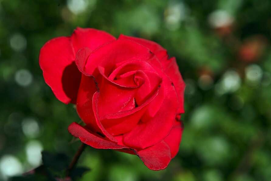 Sales of red roses for Valentine's Day have fallen in recent years.
