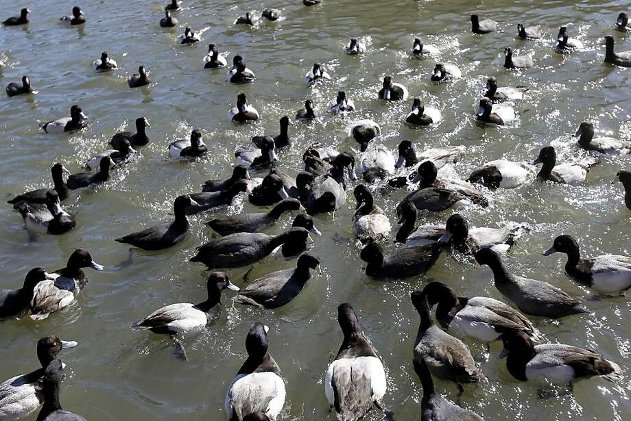 Scaups, coots and a sole tufted duck (see Page E8) dive for grain thrown at Lake Merritt. Photo: Brant Ward, The Chronicle