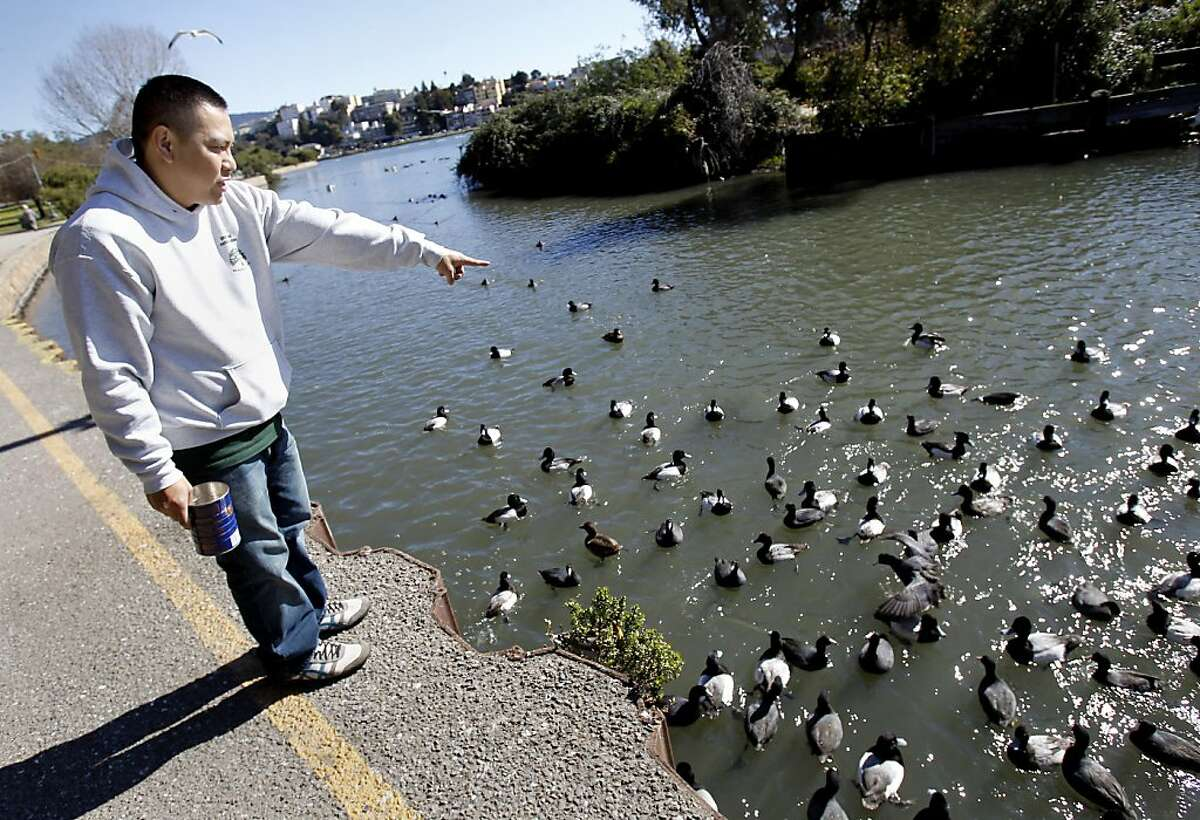 Recreation leader Kao Saechao points out the tufted duck in a crowd of native birds at Lake Merritt Monday February 11, 2013. Millions of birds migrate along the Pacific flyway every winter, but a few take their own path. A rare tufted duck makes his winter home at Oakland's Lake Merritt instead of Asia, where the rest of his breed migrates.