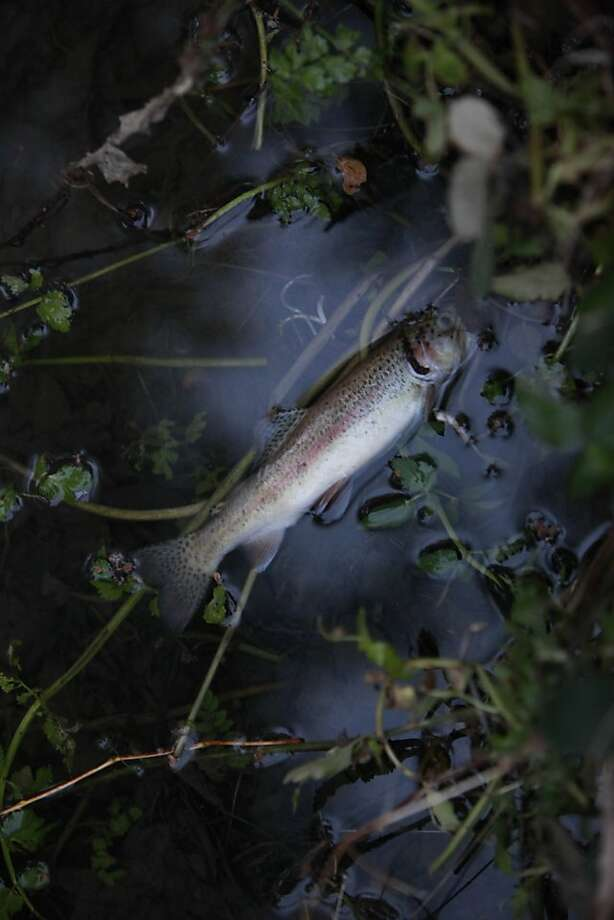 A dead fish floats in San Mateo Creek after coming in contact with chlorinated water. Photo: Lea Suzuki, The Chronicle