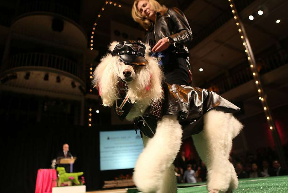 Fallon, a poodle, wearing a black leather Harley-Davidson jacket, is escorted by Vikki Foley. Photo: Liz Hafalia, The Chronicle