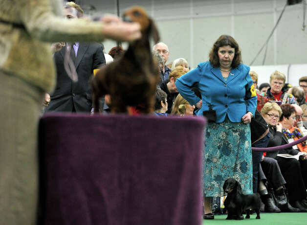 Handler Janice Kenney, of Monroe, waits in line to have Rachelle, a standard smooth dachshund, judged during the 137th Westminster Kennel Club Dog Show at Pier 92/94 in New York City on Monday, Feb. 11, 2013. For related coverage go to www.westminsterkennelclub.org. Photo: Jason Rearick / The News-Times