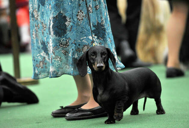 Handler Janice Kenney, of Monroe, shows Rachelle, a standard smooth dachshund, during the 137th Westminster Kennel Club Dog Show at Pier 92/94 in New York City on Monday, Feb. 11, 2013. For related coverage go to www.westminsterkennelclub.org. Photo: Jason Rearick / The News-Times