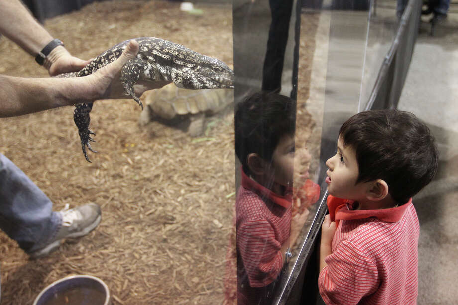 Ian Nash, 2, checks out an Argentine Black and White Tegu in the Fangs Reptile House during the San Antonio Stock Show and Rodeo, Monday, Feb. 11, 2013. The display also features various snakes found in Bexar County. Photo: Jerry Lara, San Antonio Express-News / © 2013 San Antonio Express-News