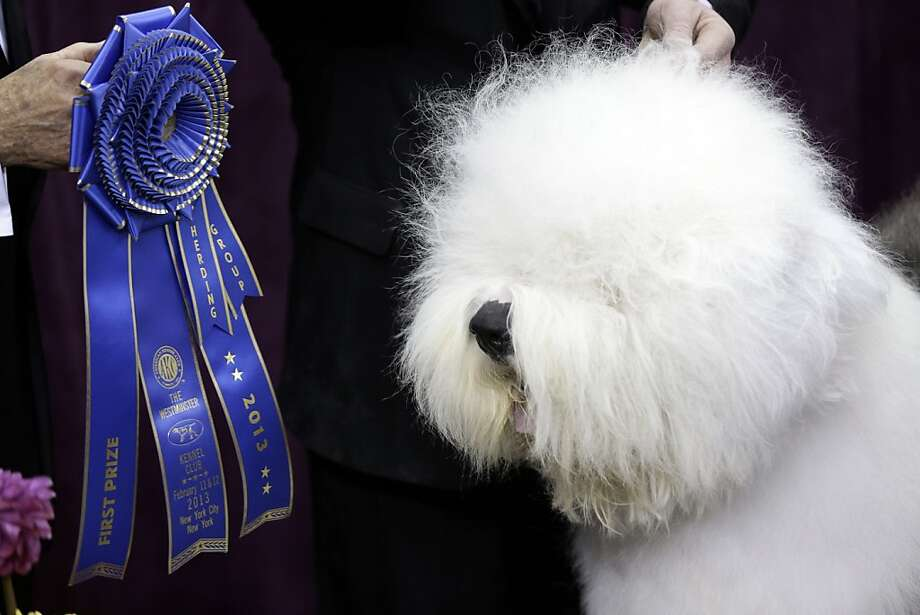I won a ribbon?! Where is it?Swagger, an Old English Sheep Dog, takes first place in the herding group at the Westminster Kennel Club dog show in New York. Photo: Frank Franklin II, Associated Press