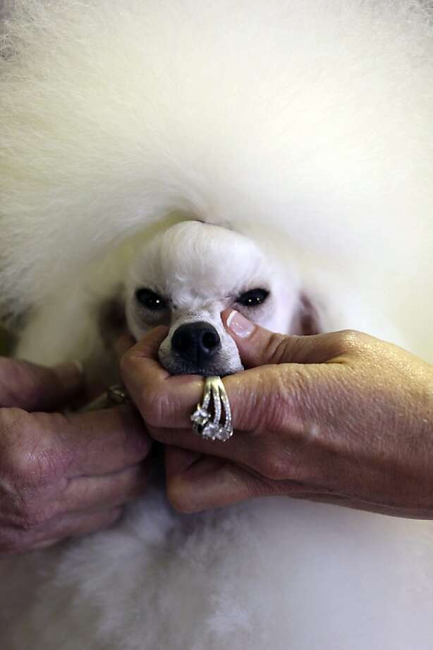 Angel, a 2-year-old Toy Poodle from Houston, Texas, is groomed prior to competition during the 137th Westminster Kennel Club dog show, Monday, Feb. 11, 2013 in New York. (AP Photo/Mary Altaffer) Photo: Mary Altaffer, Associated Press