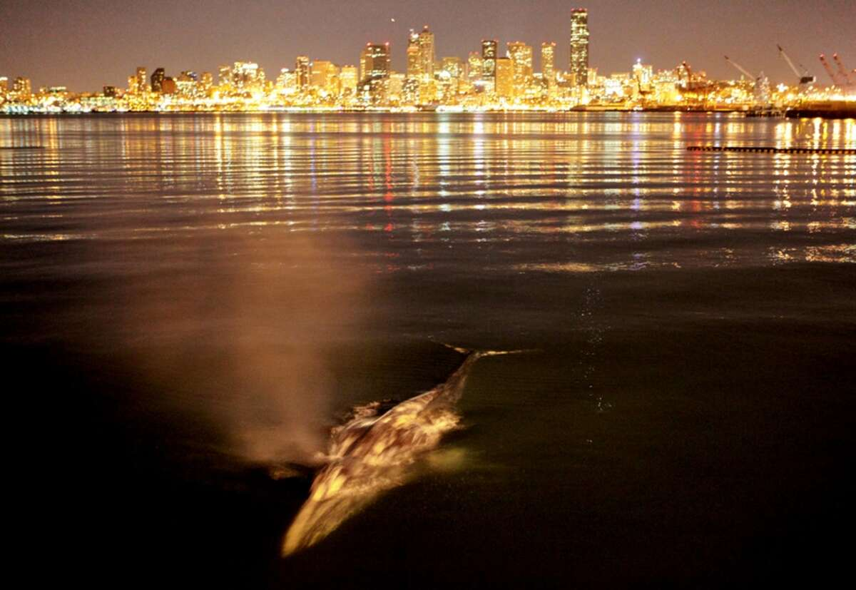 A gray whale surfaces near the mouth of the Duwamish River.  Seattle's only river is a Superfund cleanup site, the legacy of years of industrial pollution.  It still sends PCBs into Puget Sound.  The Trump administration is proposing to cut the Superfund cleanup program by 30 percent.