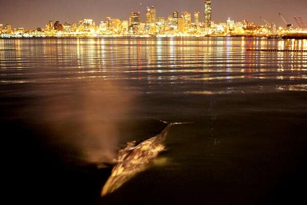 No. 7 - A gray whale surfaces near the mouth of the Duwamish River in 2010 with our amazing skyline for a backdrop. Romantic?