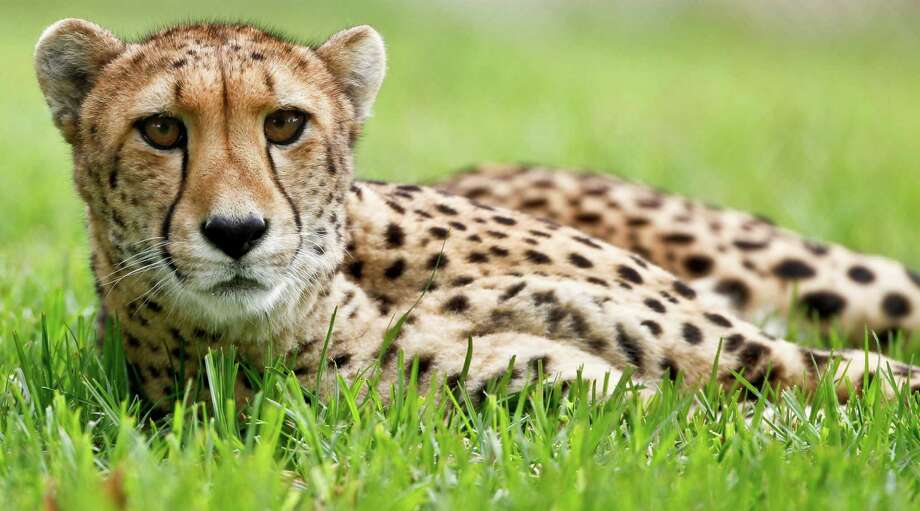 In this Nov. 29, 2012 photo, Nairobi, a 9-year-old female cheetah, keeps an eye on activity in an adjacent enclosure at the cheetah breeding facility at Safari Park in Escondido, Calif.  Cheetahs might be the fastest mammals in the world, but they are also the world's biggest scaredy-cats. The tightly wound, timid, flight-minded, anti-social creatures don't breed easily and are in danger of going extinct in the wild and in captivity. (AP Photo/Lenny Ignelzi) Photo: Lenny Ignelzi, STF / AP