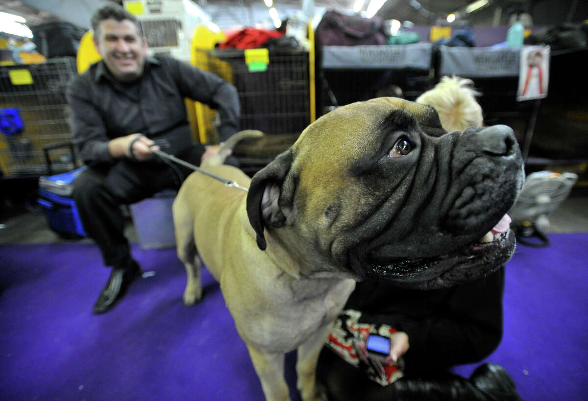 Bill Ofshlag sits with his bullmastiff Jagger in the staging area during the 137th Westminster Kennel Club Dog Show at Pier 92/94 in New York City on Tuesday, Feb. 12, 2013. For related coverage go to www.westminsterkennelclub.org.