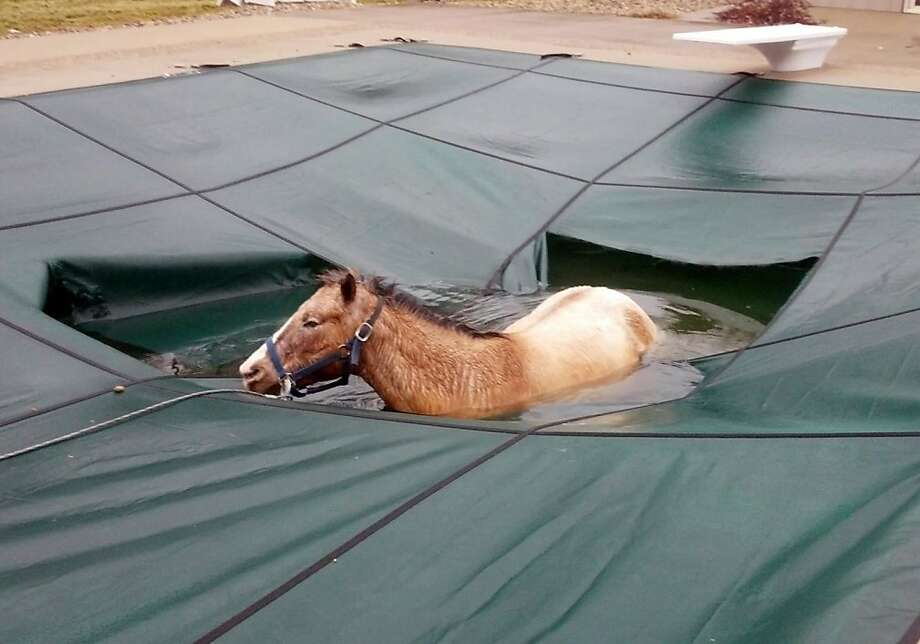 A blind horse that fell into swimming pool at his home waits to be rescued in Pimento, Ind. Sheriff's deputies and others used a winch attached to a harness to guide the horse to the shallow end of the pool. Blankets were thrown over its back, and it was coaxed into walking up steps in the pool into a heated garage, where a veterinarian treated the animal. Photo: Jack Harvey, Associated Press