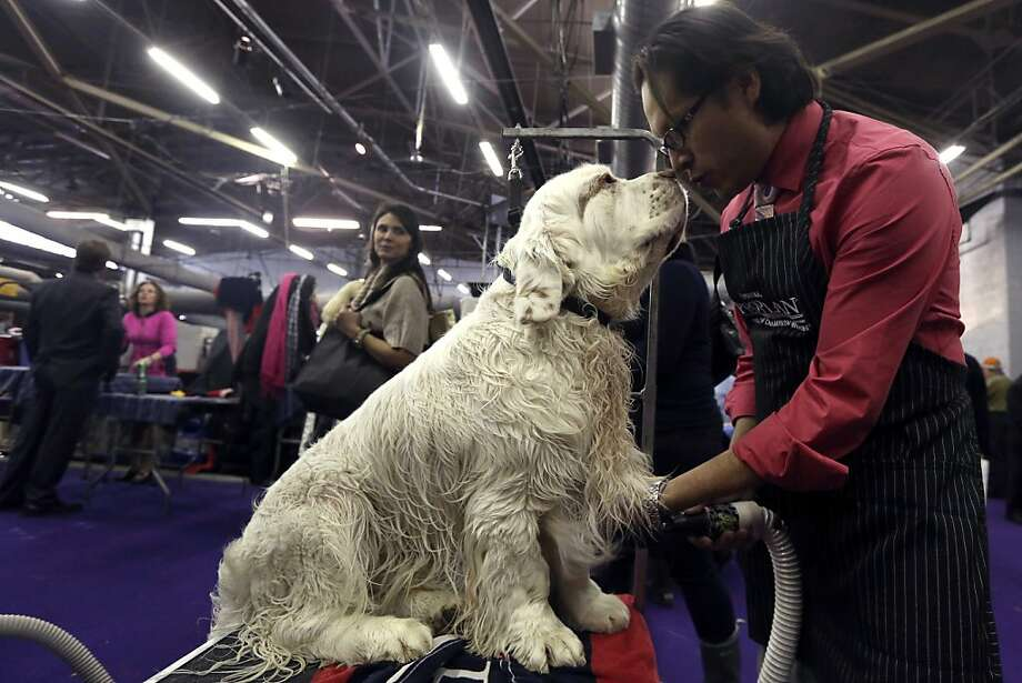 Lover boy:Seymor the Clumber Spaniel adores being groomed by Gustavo Jimenez at the Westminster Kennel Club dog show. Photo: Mary Altaffer, Associated Press