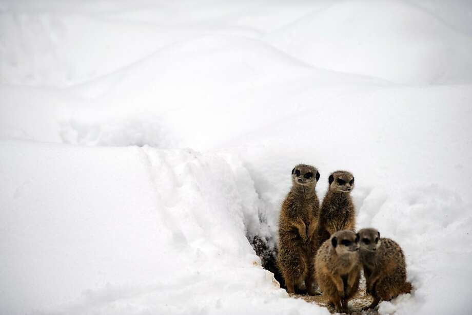 But Punxsutawney Phil predicted an early spring! Meerkats are greeted by snow as they leave their den at the Mulhouse Zoo in France. Photo: Sebastien Bozon, AFP/Getty Images
