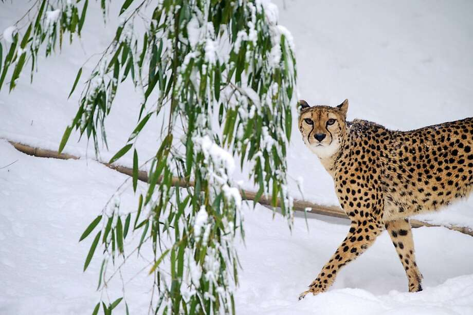 Best in snow: Now that Westminster is over, the spotlight's on the cool cats at the Mulhouse Zoo in Germany. Photo: Sebastien Bozon, AFP/Getty Images