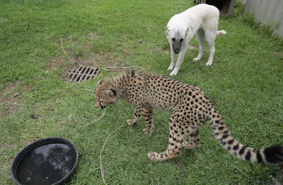 The Houston Zoo's cheetahs and Anatolian shepherds hang out Friday April 11, 2008.  Photo: Billy Smith II, Houston Chronicle / Houston Chronicle