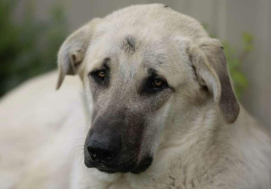 The Houston Zoo's Anatolian shepherd Tusker  Friday April 11, 2008. Photo: Billy Smith II, Houston Chronicle / Houston Chronicle