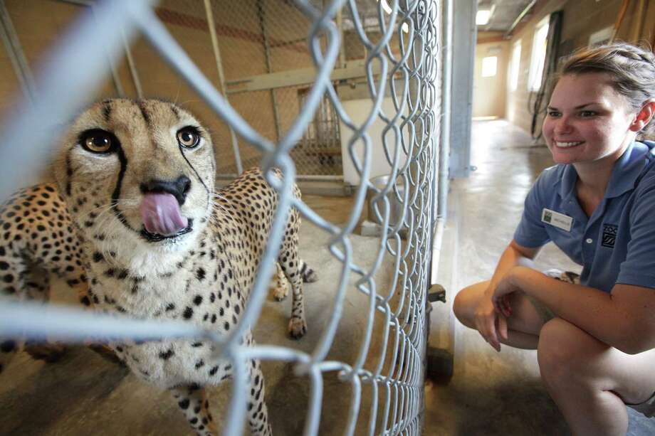 Zookeeper Michelle Witek handles the cheetahs and some carnivores at the Houston Zoo on Wednesday, July 18, 2012, in Houston. Photo: Mayra Beltran, Houston Chronicle / © 2012 Houston Chronicle
