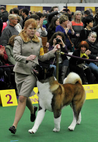 Colleen Sullivan, of Danbury, shows her dog Holster, an akita, during the 137th Westminster Kennel Club Dog Show at Pier 92/94 in New York City on Tuesday, Feb. 12, 2013. For related coverage go to www.westminsterkennelclub.org. Photo: Jason Rearick / The News-Times