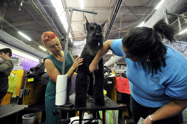Handler JoAnn Freise White, left, and groomer Maria Agrinsonis readies Stormy, a giant schnauzer, for competition during the 137th Westminster Kennel Club Dog Show at Pier 92/94 in New York City on Tuesday, Feb. 12, 2013. For related coverage go to www.westminsterkennelclub.org. Photo: Jason Rearick / The News-Times