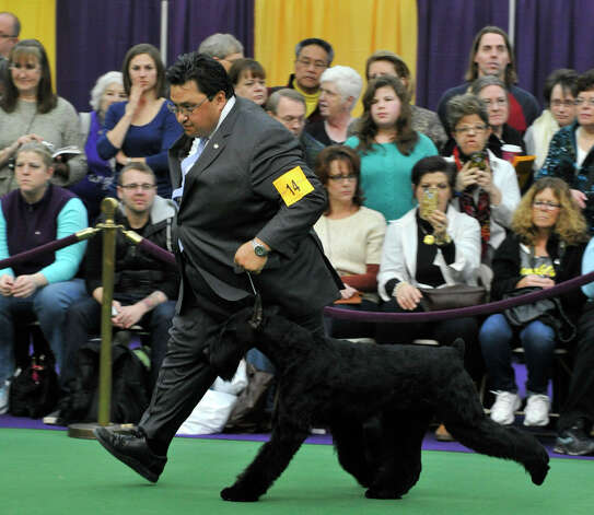 Handler Gabriel Rangel shows Abbey, a giant schnauzer from Greenwich, during the 137th Westminster Kennel Club Dog Show at Pier 92/94 in New York City on Tuesday, Feb. 12, 2013. For related coverage go to www.westminsterkennelclub.org. Photo: Jason Rearick / The News-Times