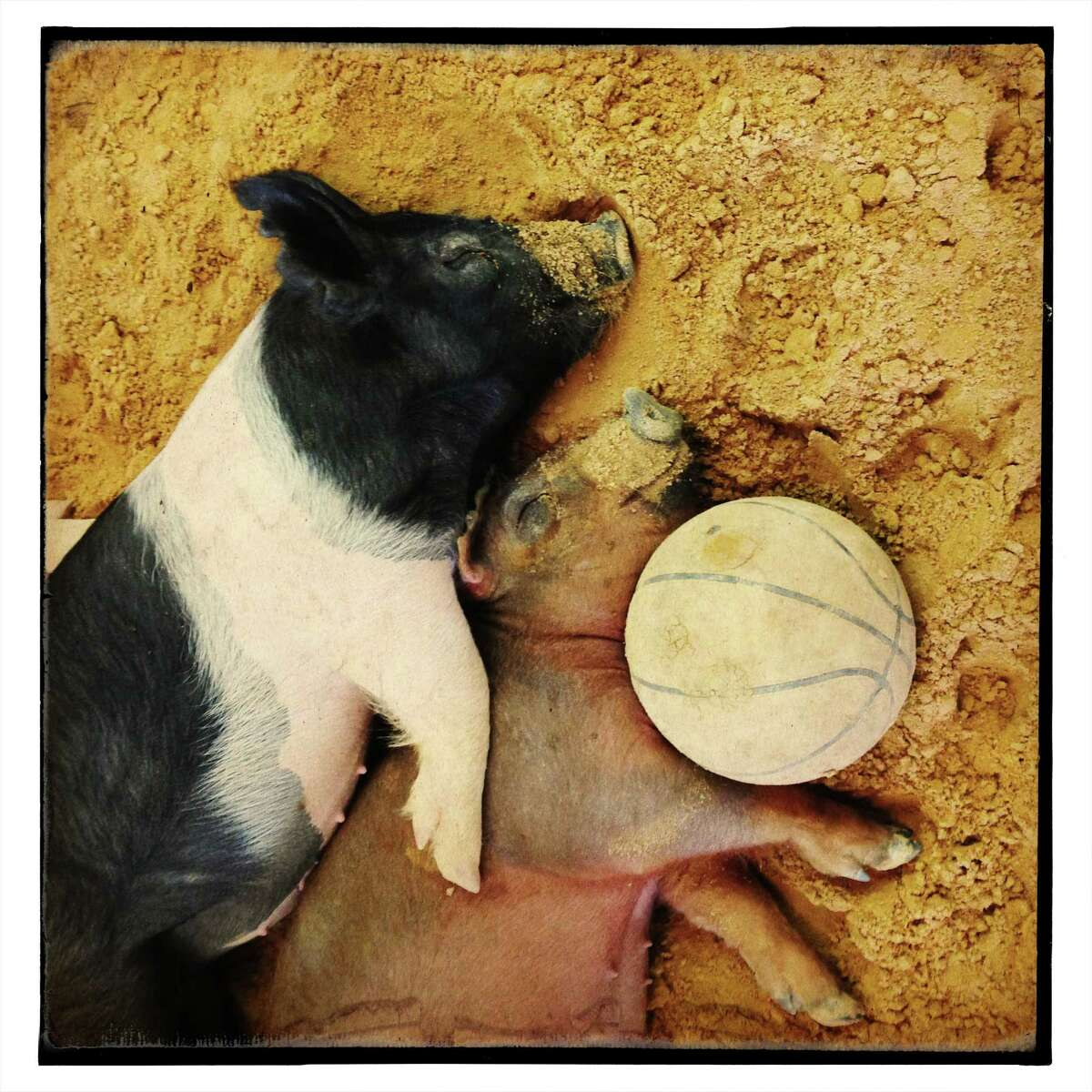 Two pigs nap with their toy, a basketball, at the Animal Advenures barn.