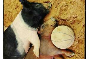 Left: Two pigs nap with their toy, a basketball, at the Animal Advenures barn.