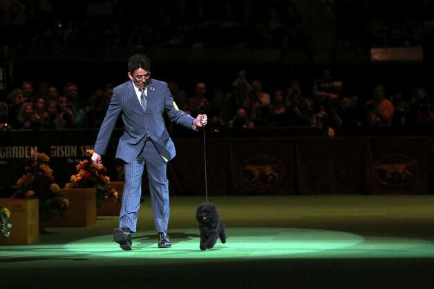 Ernesto Lara presents Banana Joe, an affenpinscher, during the Best in Show competition at the 137th Westminster Kennel Club dog show, Tuesday, Feb. 12, 2013, at Madison Square Garden in New York. Photo: Mary Altaffer