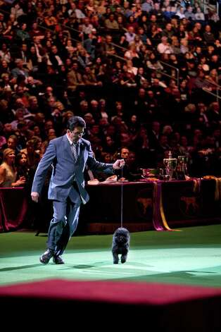 Ernesto Lara shows off Banana Joe, an affenpinscher as they are introduced for Best in Show during the 137th Westminster Kennel Club dog show, Tuesday, Feb. 12, 2013, at Madison Square Garden in New York. Photo: Frank Franklin II