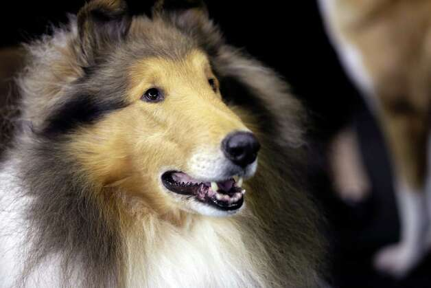 A rough collie waits to compete in the hearding group during the Westminster Kennel Club dog show, Monday, Feb. 11, 2013, at Madison Square Garden in New York. Photo: Frank Franklin II
