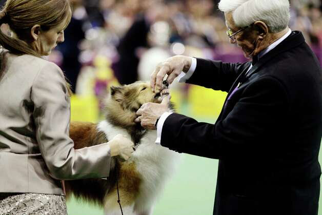 A Shetland sheepdog is judged during the hearding group at the Westminster Kennel Club dog show, Monday, Feb. 11, 2013, at Madison Square Garden in New York. Photo: Frank Franklin II
