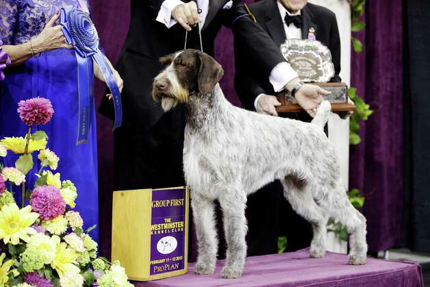 Oakley, a German wirehaired pointer and winner of the Sporting group, is posed for photographs during the 137th Westminster Kennel Club dog show, Tuesday, Feb. 12, 2013, at Madison Square Garden in New York. Photo: Frank Franklin II