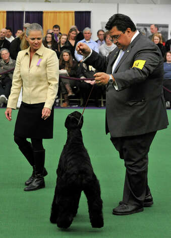 Handler Gabriel Rangel, right, shows Abbey, a giant schnauzer from Greenwich, to judge Paula Nykiel during the 137th Westminster Kennel Club Dog Show at Pier 92/94 in New York City on Tuesday, Feb. 12, 2013. For related coverage go to www.westminsterkennelclub.org. Photo: Jason Rearick / The News-Times