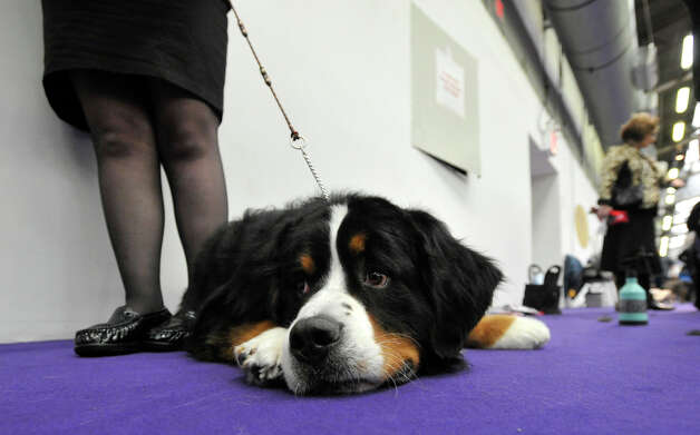 Juliette, a Bernese mountain dog, lays on the carpet after competing in the 137th Westminster Kennel Club Dog Show at Pier 92/94 in New York City on Tuesday, Feb. 12, 2013. Juliette is owned by the Meyers family of Southbury. For related coverage go to www.westminsterkennelclub.org. Photo: Jason Rearick / The News-Times