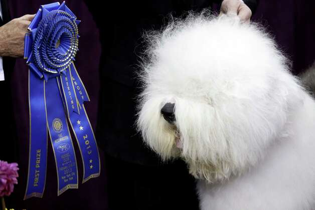 Swagger, an Old English Sheep Dog, is posed for photographs after winning the hearding group during the Westminster Kennel Club dog show, Monday, Feb. 11, 2013, at Madison Square Garden in New York. Photo: Frank Franklin II